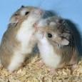 I criceti nani fanno sempre parte della famiglia dei cricetidi ma a differenza del criceto comune chiamato anche dorato sono decisamente più piccoli. Un criceto nano adulto arriva ad una […]