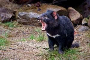 """Quando si dice """"povero diavolo"""" (della Tasmania)"""